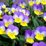Viola tricolor - Heartsease