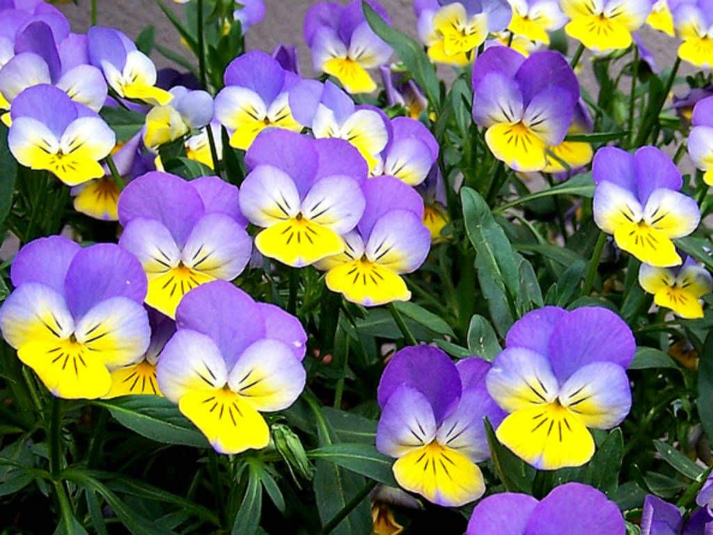 Viola Tricolor  Heartsease