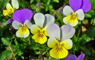 Viola tricolor - Wild Pansy
