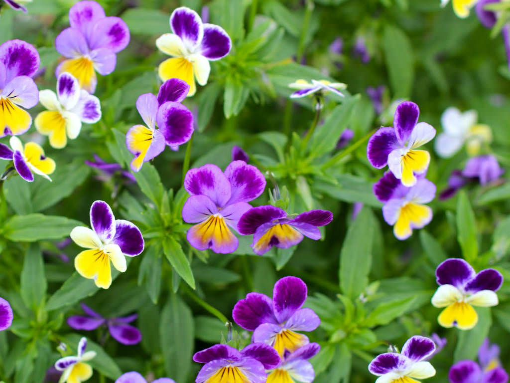 Viola tricolor Heartsease Wild Pansy Johnny Jump Up