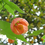 Abutilon pictum - Painted Indian Mallow