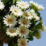 Carnegiea gigantea - Saguaro Cactus