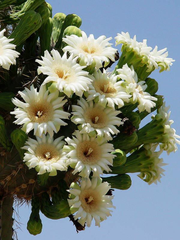 carnegiea gigantea saguaro cactus world of flowering