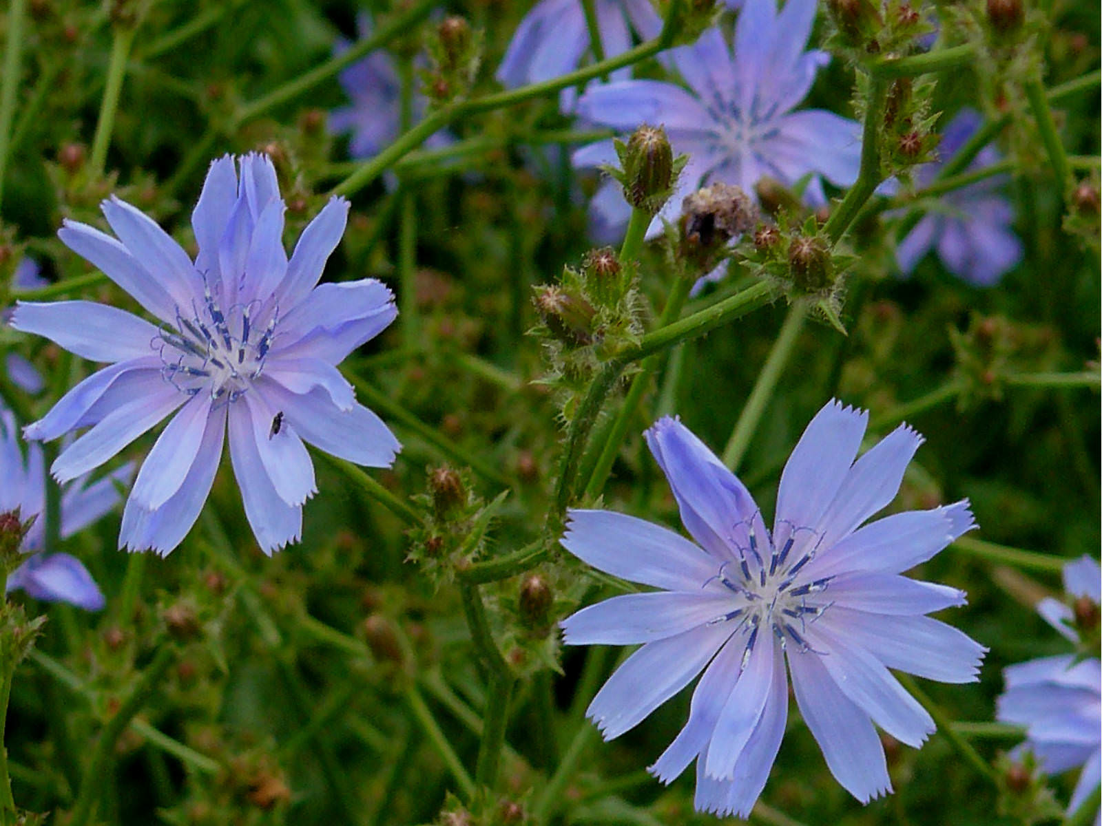 Cichorium intybus – Common Chicory | World of Flowering Plants