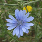 Cichorium intybus – Common Chicory Blue Dandelion