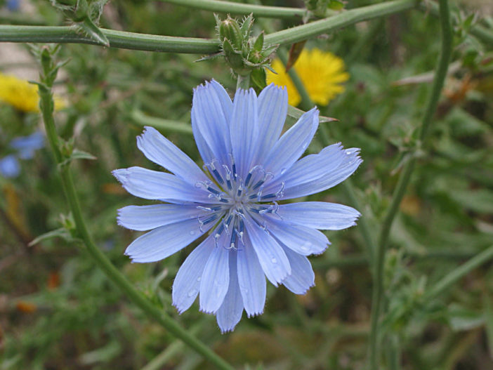 Cichorium intybus – Common Chicory Blue Dandelion