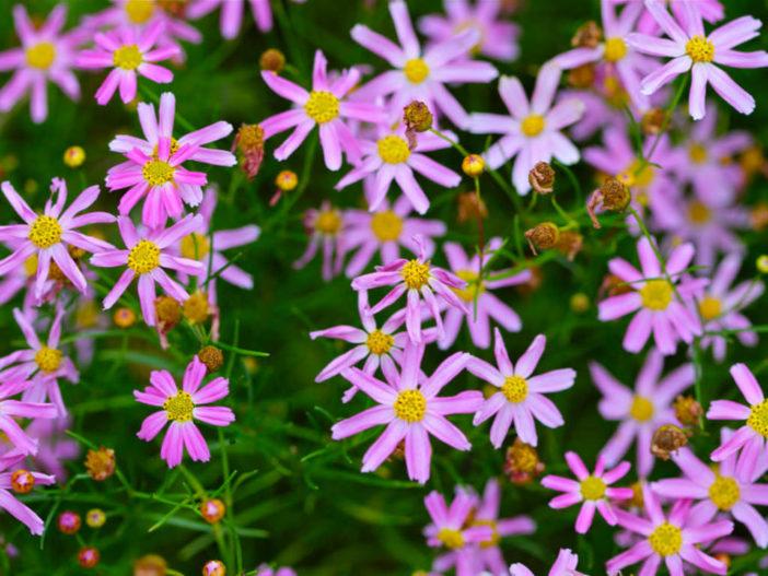 Coreopsis rosea - Pink Tickseed