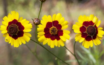 Coreopsis tinctoria - Plains Coreopsis Golden Tickseed