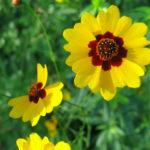 Coreopsis tinctoria - Plains Coreopsis Golden Tickseed