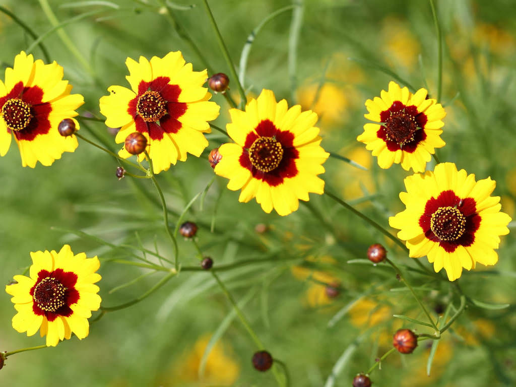 Coreopsis Plant Care How To Grow And Care For Coreopsis