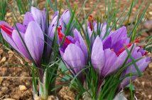 Crocus sativus - Saffron Crocus