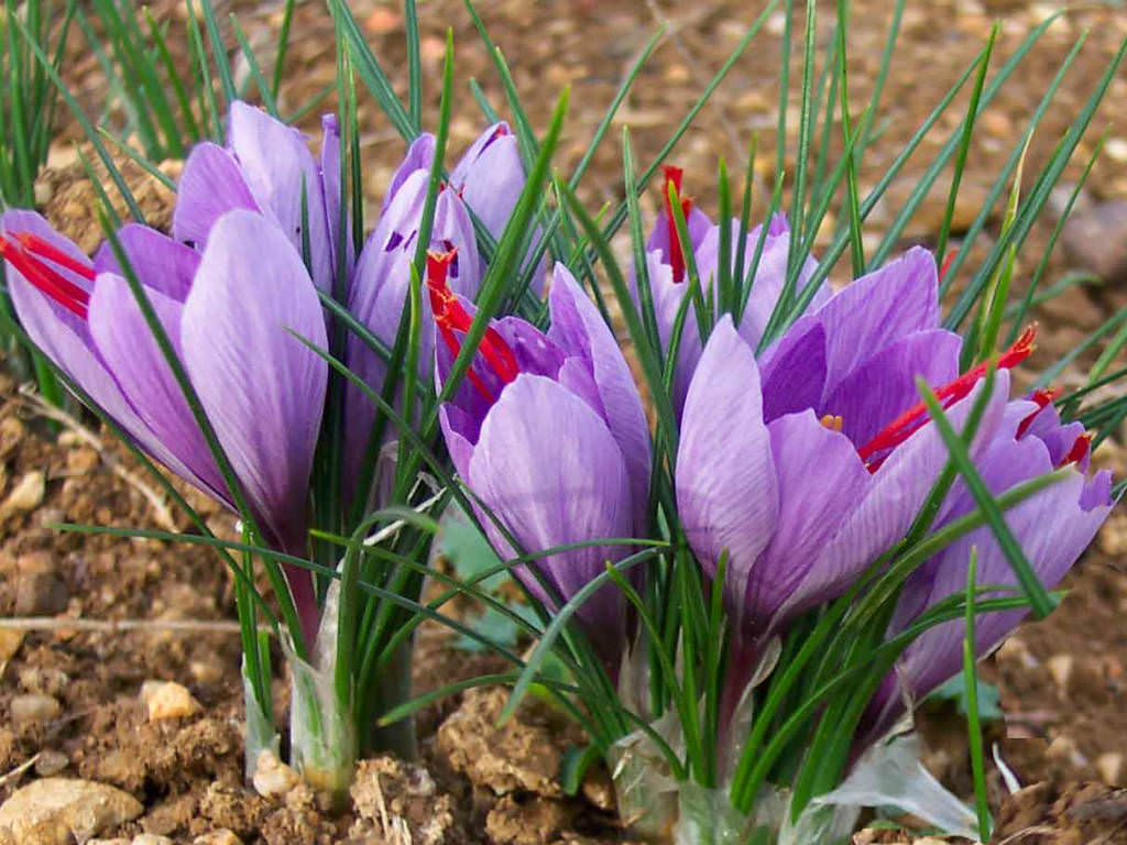 Crocus sativus - Saffron Crocus | World of Flowering Plants