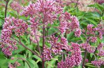Eutrochium purpureum - Sweet Joe Pye Weed