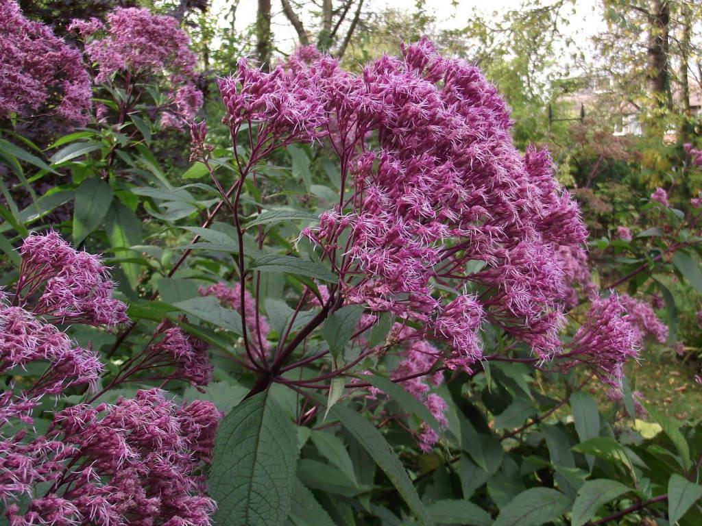 Eutrochium purpureum sweet joe pye weed world of for Joe pye weed