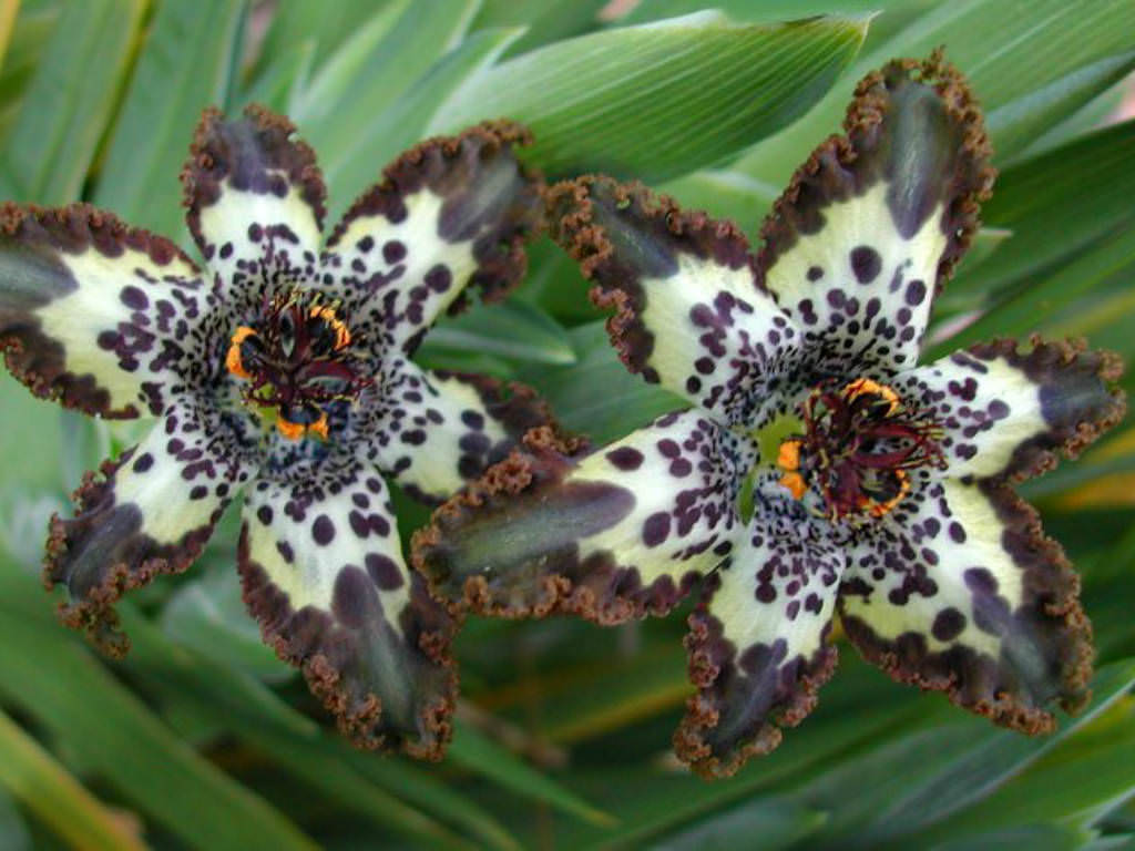 Ferraria Crispa Starfish Lily World Of Flowering Plants