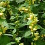 Lamium galeobdolon - Yellow Archangel