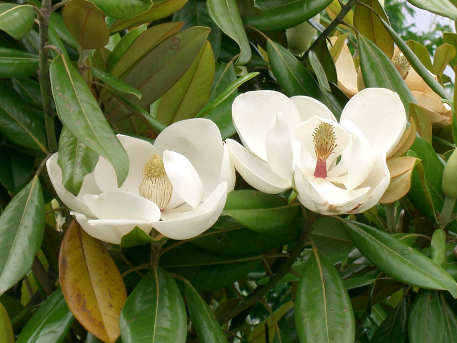 magnolia grandiflora southern magnolia world of flowering plants. Black Bedroom Furniture Sets. Home Design Ideas