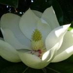Magnolia grandiflora - Southern Magnolia