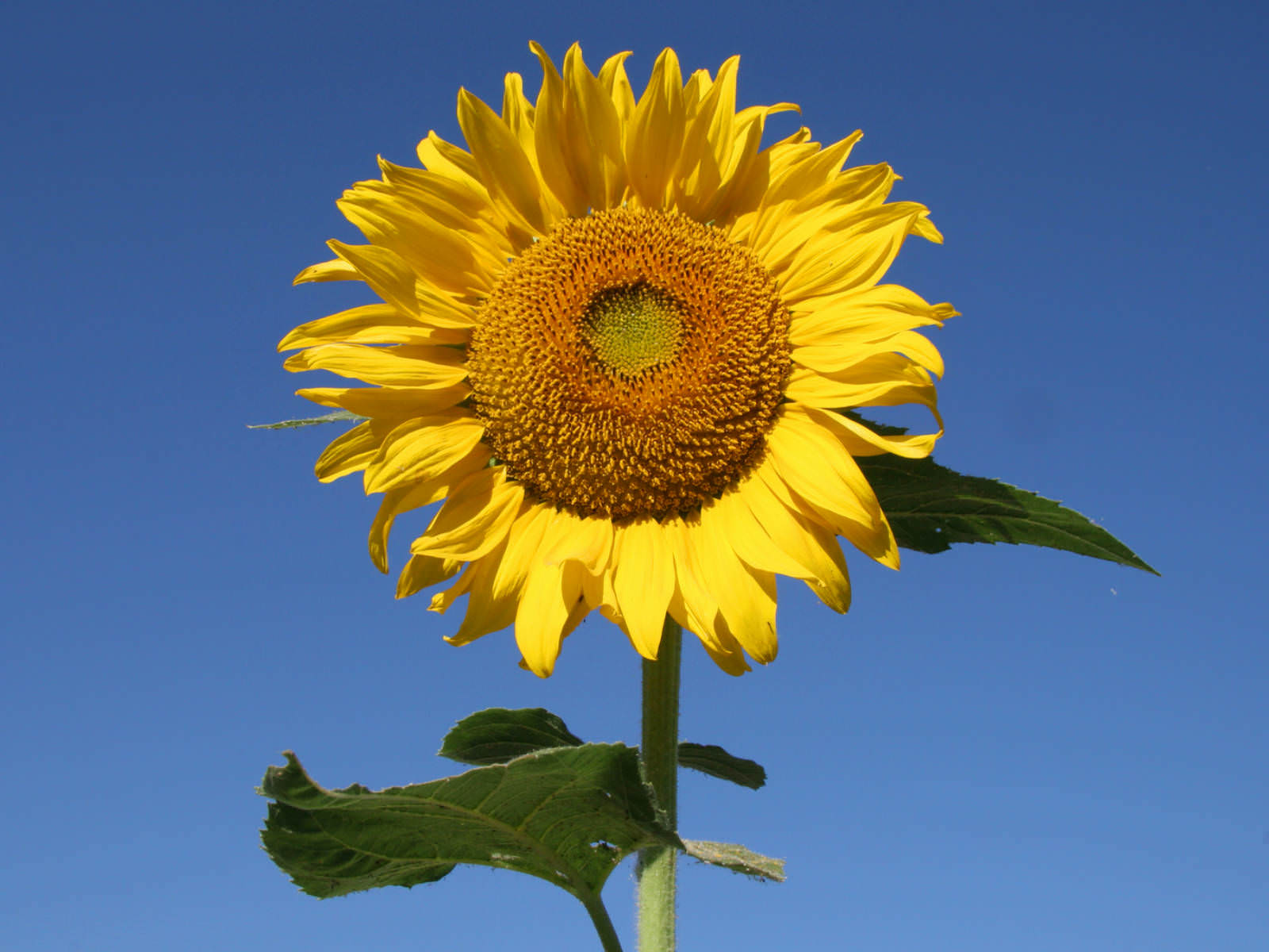 The Story of the Sunflower | World of Flowering Plants