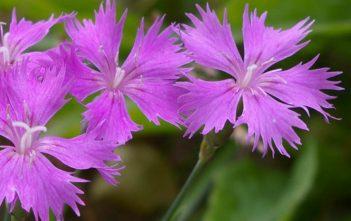 Dianthus caryophyllus - Carnation