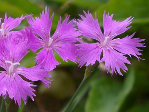 dianthus caryophyllus carnation clove pink world of flowering plants. Black Bedroom Furniture Sets. Home Design Ideas