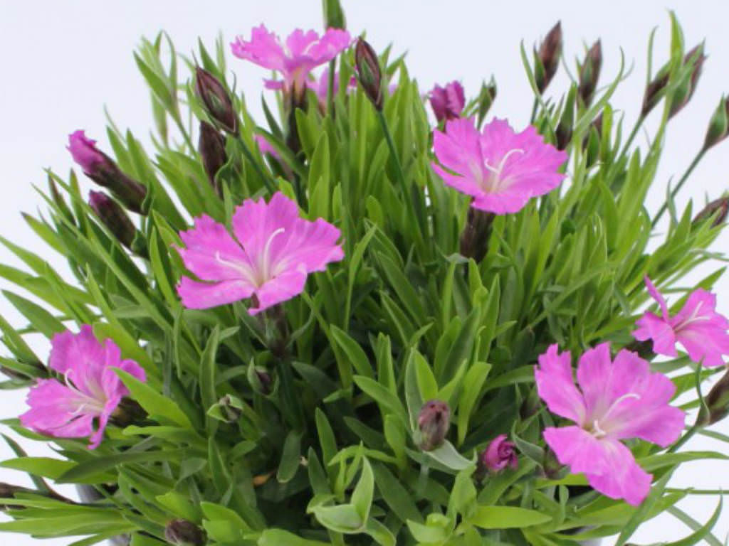 Dianthus Caryophyllus Carnation World Of Flowering Plants