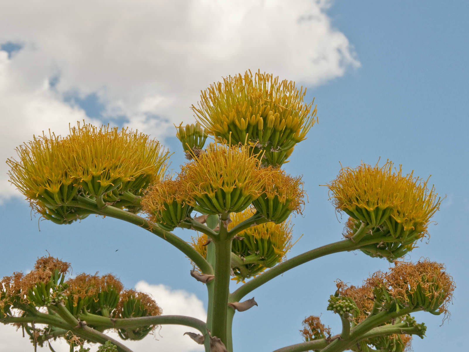 Agave americana century plant world of flowering plants for Flowering landscape plants