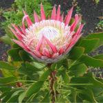 Protea cynaroides - King Protea