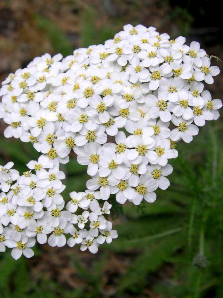 Achillea Millefolium Common Yarrow World Of Flowering