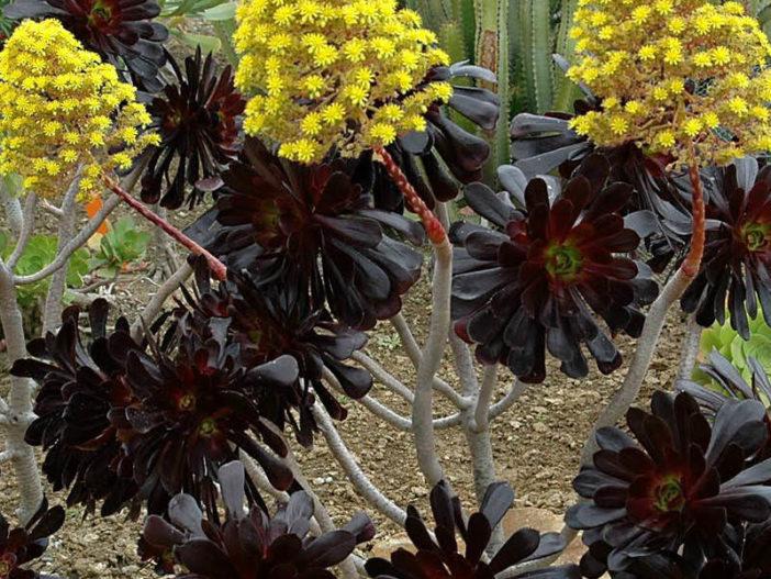 Aeonium arboreum 'Zwartkopf' (Black Rose)