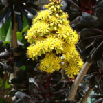 Aeonium arboreum 'Zwartkopf' - Black Rose