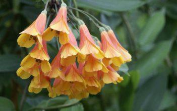 Bomarea multiflora - Vine Alstroemeria