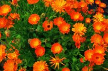 Calendula officinalis - Pot Marigold