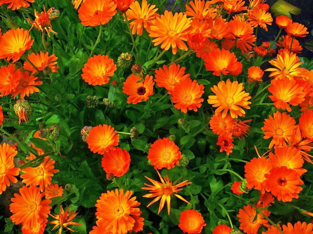 pot marigold plant Dry the flower petals at a low temperature and then boil water and add a tablespoon of dried flowers to the pot  plants in the same family as marigolds  dr .