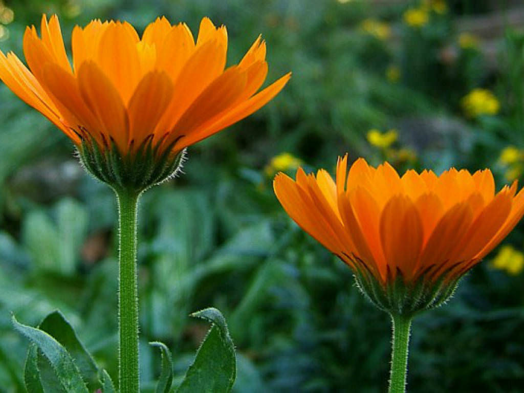 calendula officinalis pot marigold world of flowering plants. Black Bedroom Furniture Sets. Home Design Ideas