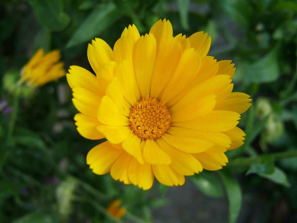 calendula officinalis pot marigold ruddles common marigold world of flowering plants. Black Bedroom Furniture Sets. Home Design Ideas