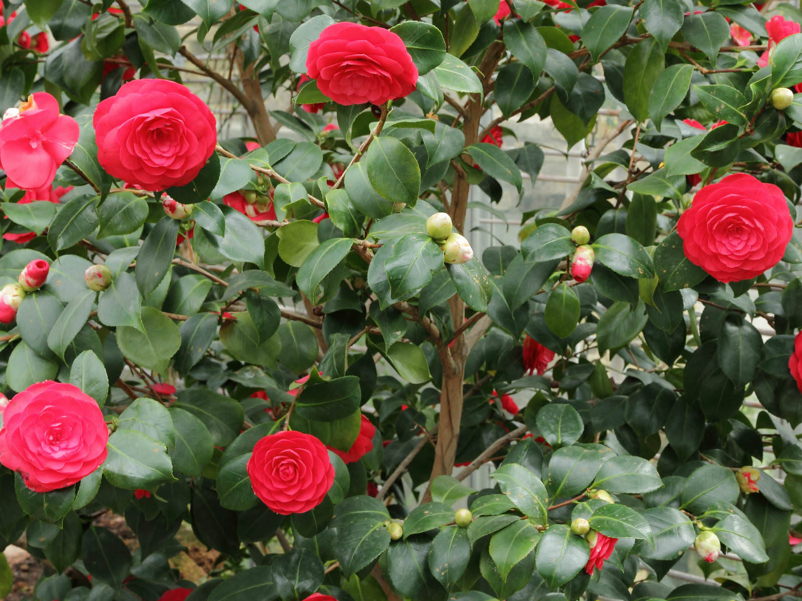 camellia japonica japanese camellia world of flowering plants