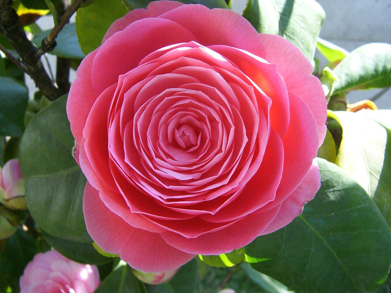 camellia japonica japanese camellia world of flowering. Black Bedroom Furniture Sets. Home Design Ideas