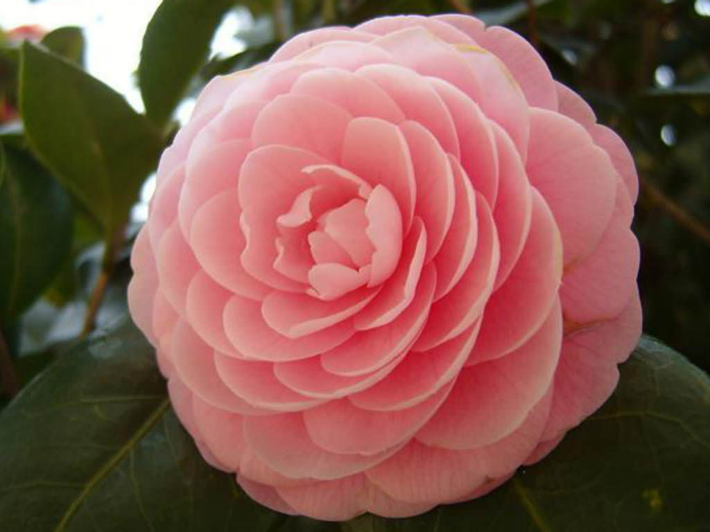 Camellia japonica japanese camellia world of flowering - Camelia planta ...