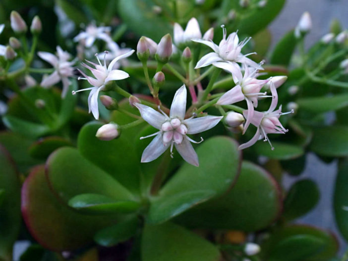 Crassula ovata - Jade Plant, Money Tree