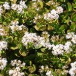 Crassula ovata - Jade Plant, Money Tree