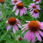Echinacea angustifolia - Black Sampson