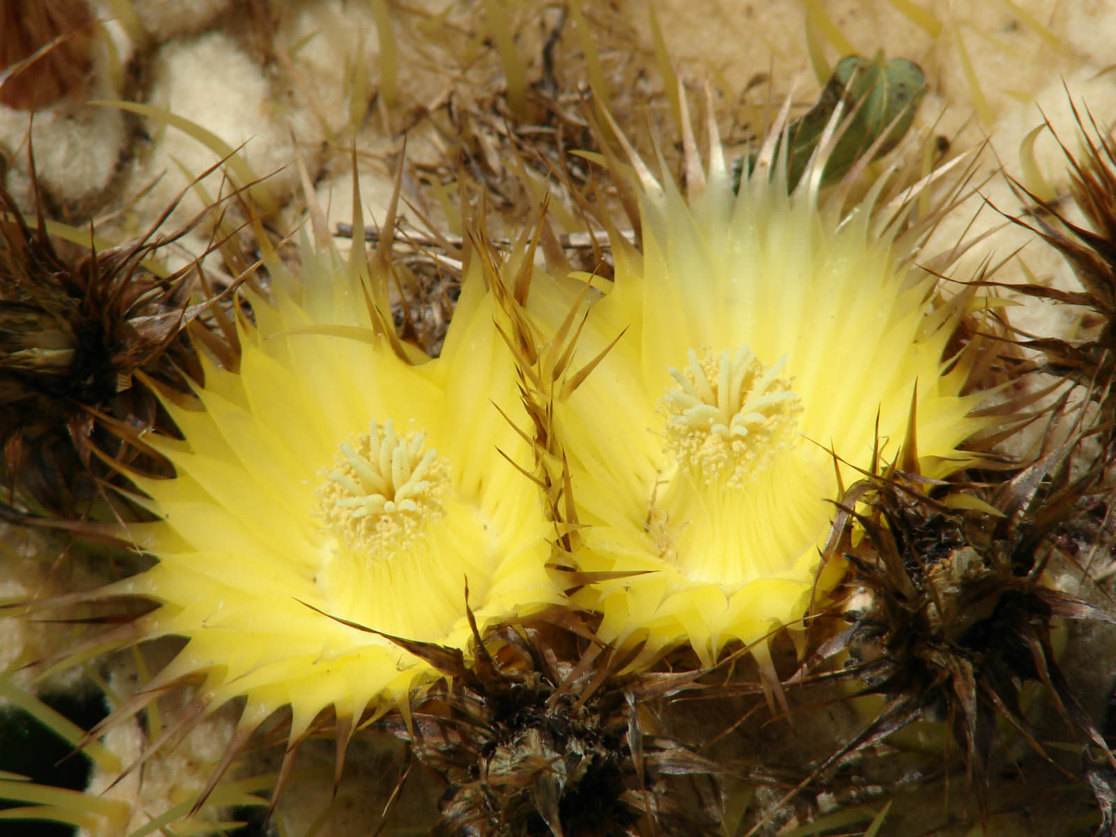 Echinocactus grusonii - Golden Barrel Cactus | World of Flowering Plants