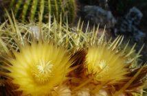 Echinocactus grusonii - Golden Barrel Cactus