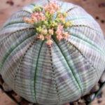 Euphorbia obesa (Baseball Plant)