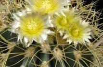 Ferocactus glaucescens (Blue Barrel Cactus)