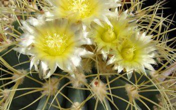 Ferocactus glaucescens - Blue Barrel Cactus