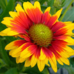 Gaillardia aristata - Common Blanket Flower