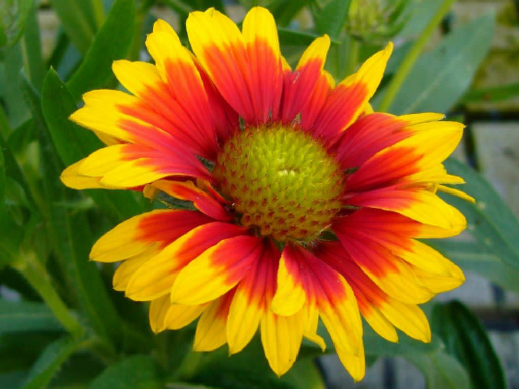 Gaillardia Aristata Common Blanket Flower World Of Flowering Plants