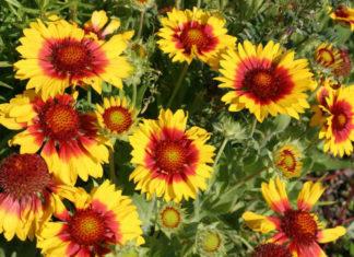 Gaillardia aristata - Common Blanket Flower